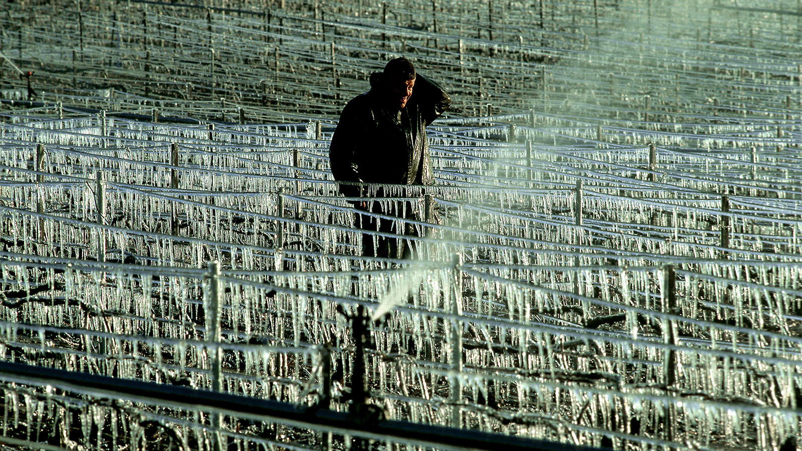 Frost strikes france again savaging bordeaux vines news news features wine spectator - The splendid transformation of a vineyard in burgundy ...